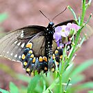 Female Tiger Swallowtail by Dawne Dunton