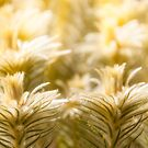Meadows of glowing golden grasses  by Danielasphotos
