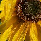 Macro Sunflower  by D-GaP