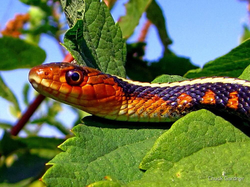 Oregon Red-spotted Garter Snake by Chuck Gardner