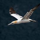 Gannet in flight by wildlifephoto