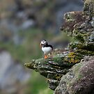 A Shetland puffin on the cliffs of Hermaness by wildlifephoto