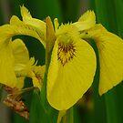 Wild Iris by LumixFZ28