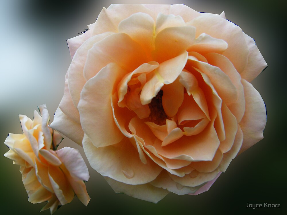peach rose and bud blur by Joyce Knorz
