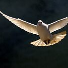 Dove Flight by Richard Horsfield