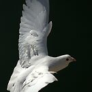 White Dove by Richard Horsfield