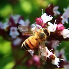 Bee on the oregano by missmoneypenny