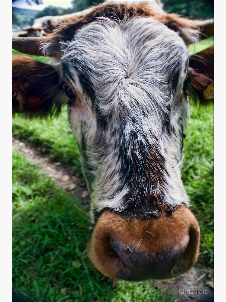 Nosey Cow by christait