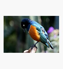 African Superb Starling Looking Down Photographic Print