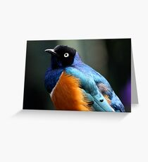 African Superb Starling Portrait Greeting Card