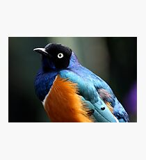 African Superb Starling Portrait Photographic Print
