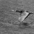 Cormorant in Flight by M G  Pettett