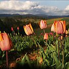 Tulips at Gembrook - Dandenong Ranges by Bev Pascoe