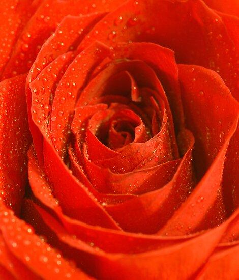 Single Red Rose by Barbara Manis