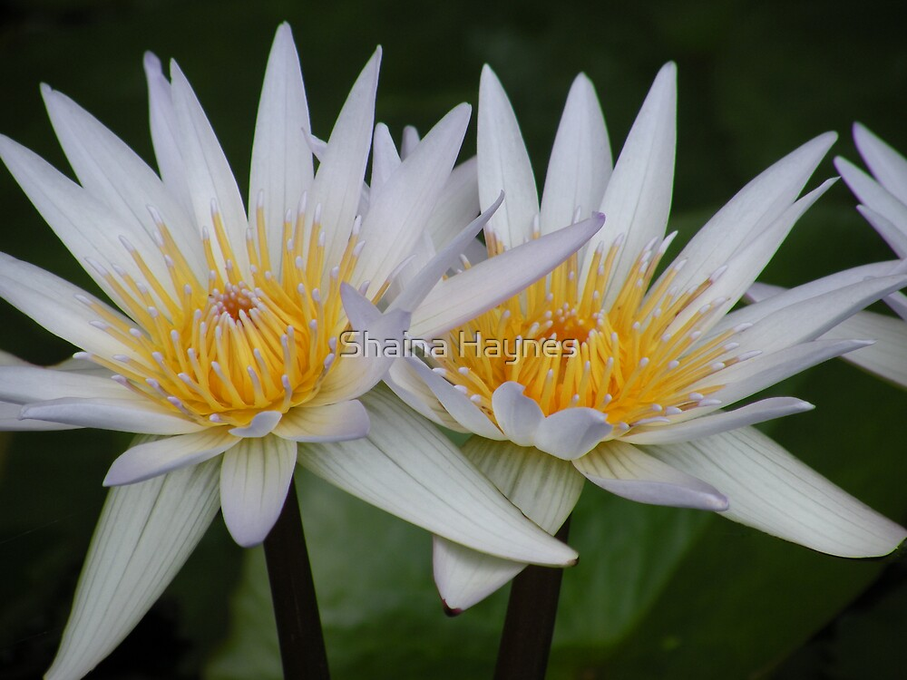Water Lilly Bloom by Shaina Haynes