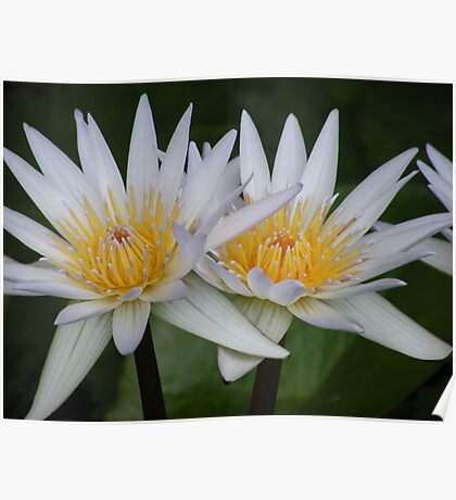 Water Lilly Bloom Poster
