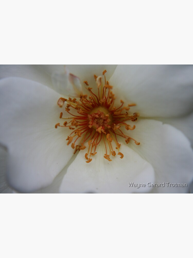 Heart of the White Rose by redmoondragon