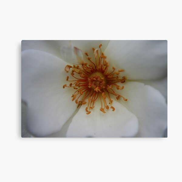 Heart of the White Rose Canvas Print
