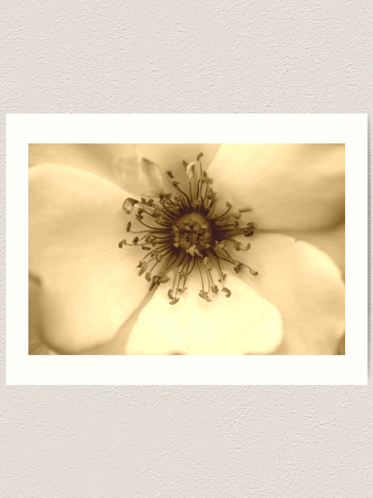 Alternate view of Heart of the White Rose in Sepia Art Print