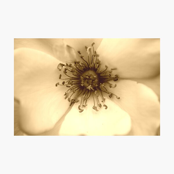 Heart of the White Rose in Sepia Photographic Print