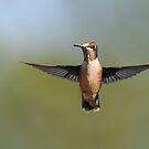 Ruby-throated Hummingbird - Female by Lynda   McDonald