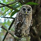 owl stare by cliffordc1