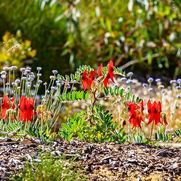 Sturt's Desert Pea, Kings Park, Perth, Western Australia by MADCAT