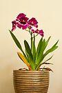 Orchidee by DonDavisUK