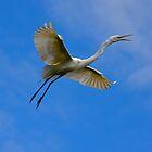 Stunning Egret in Flight by richardbryce