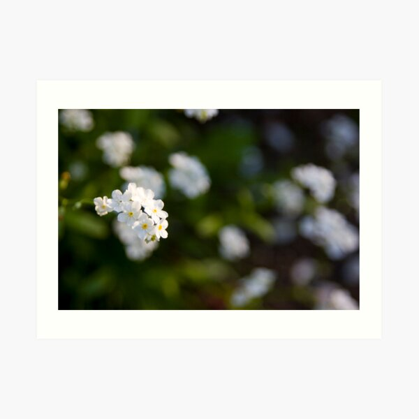 White forget-me-not Art Print