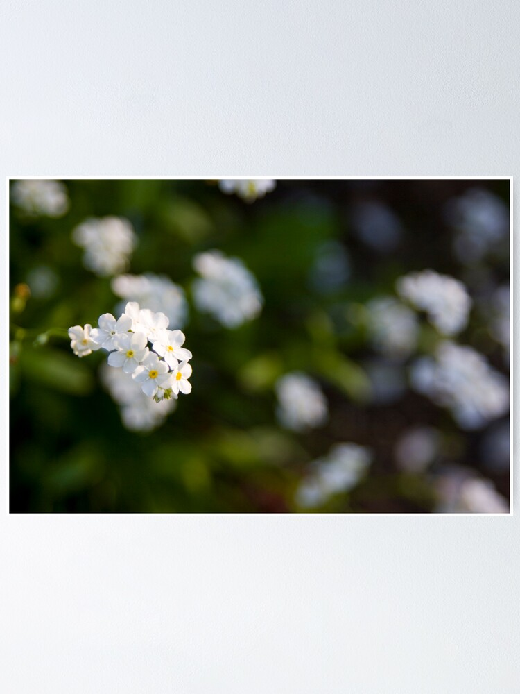Alternate view of White forget-me-not Poster