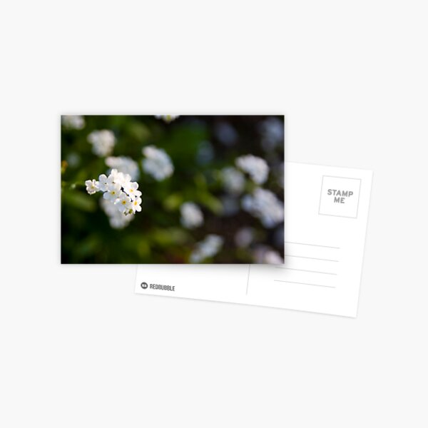 White forget-me-not Postcard