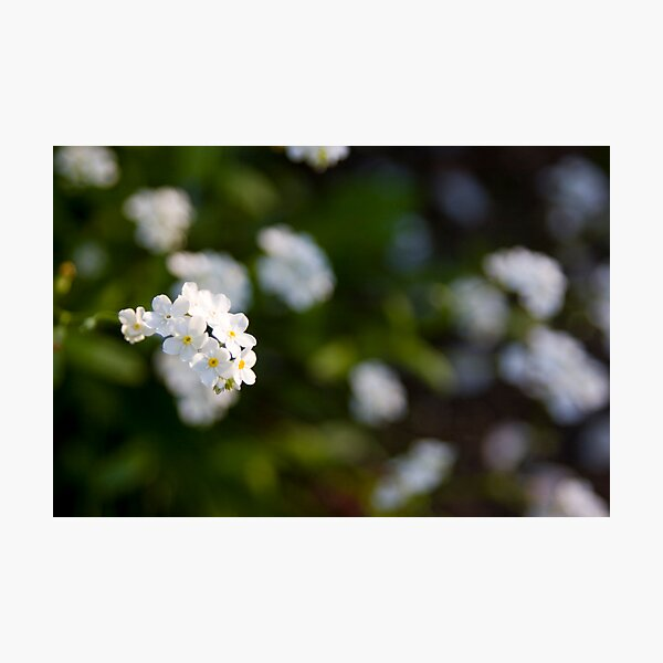 White forget-me-not Photographic Print