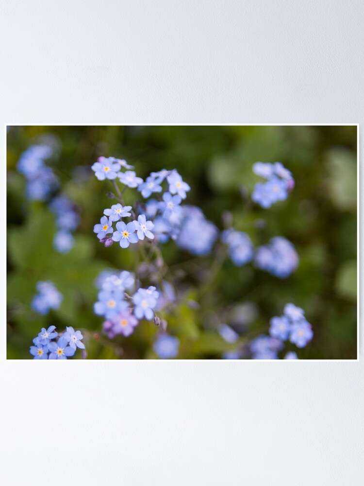 Alternate view of Blue forget-me-not Poster
