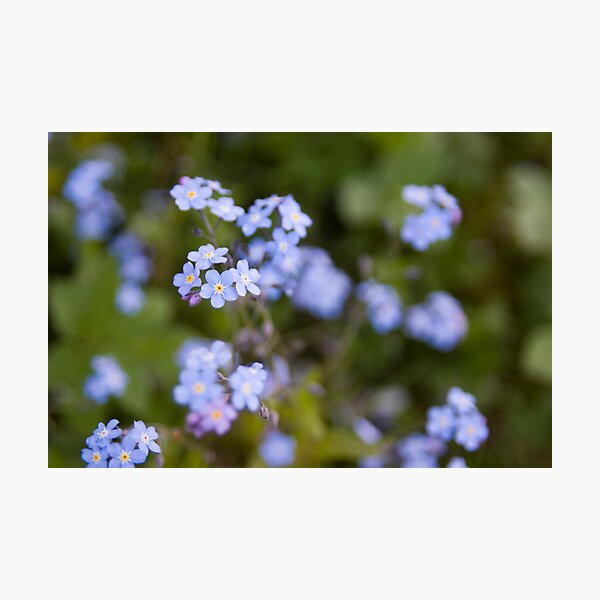 Blue forget-me-not Photographic Print