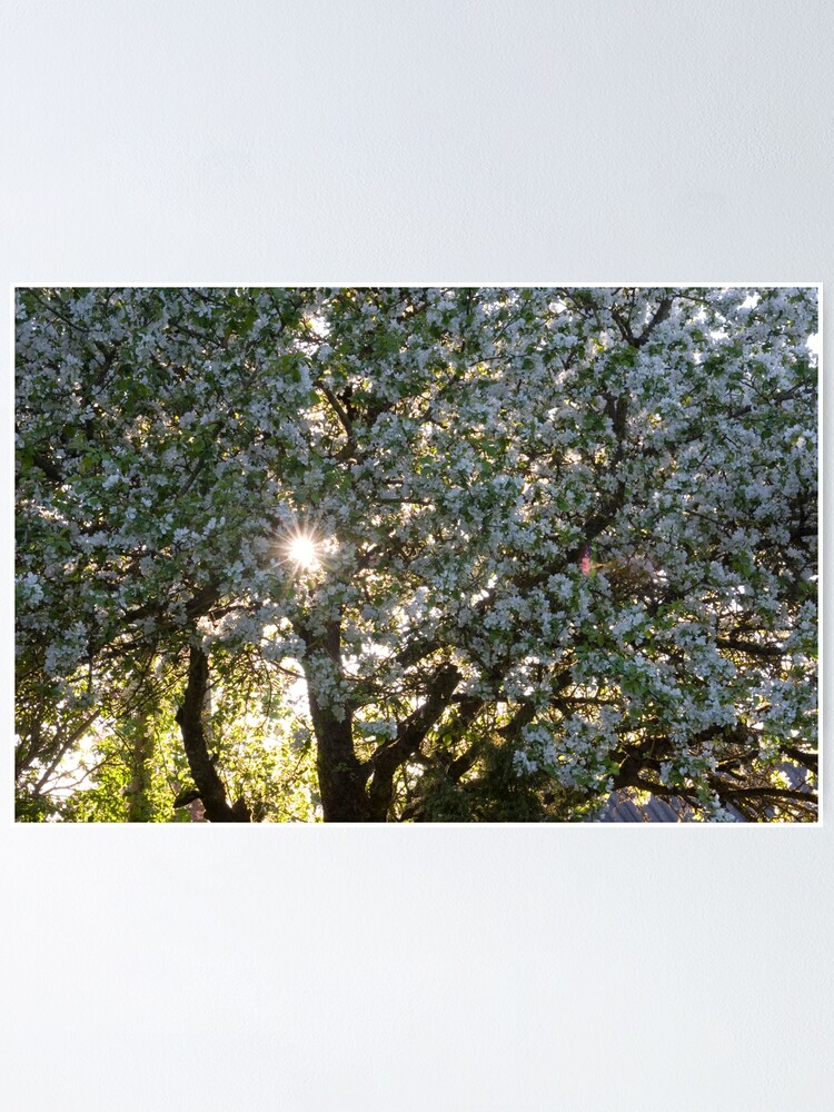 Alternate view of The beauty of an apple tree Poster