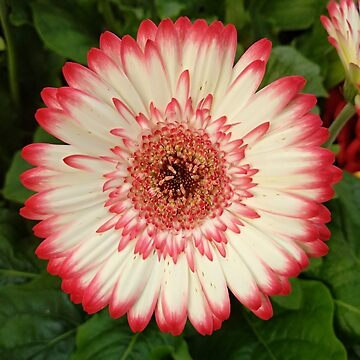 Red and white gerbera flower  by designer437