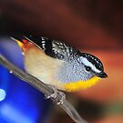 Spotted Pardalote by Bryan Cossart