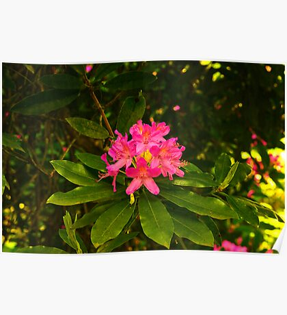 Rhododendron #2 Poster