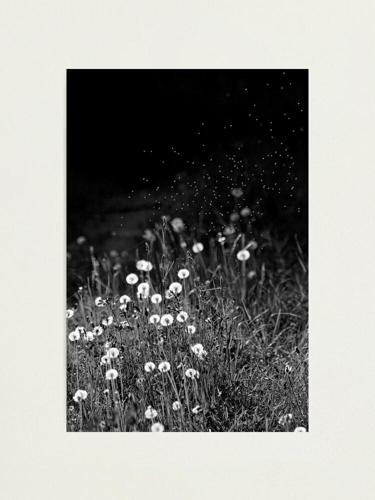 Alternate view of Dandelions in black&white Photographic Print