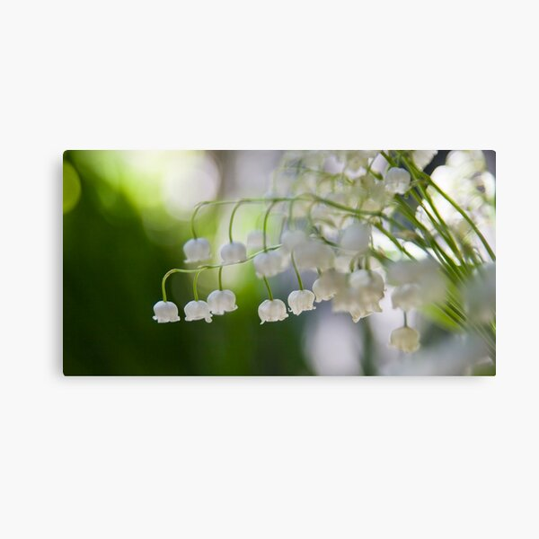 Lily of the valley panorama Canvas Print