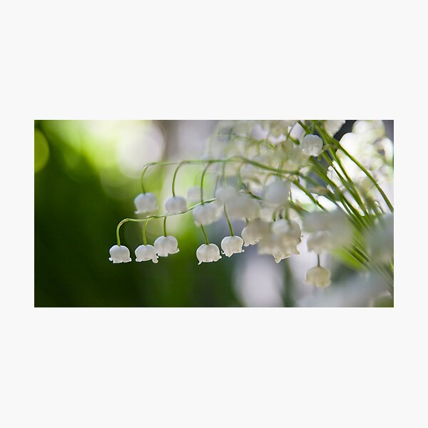 Lily of the valley panorama Photographic Print