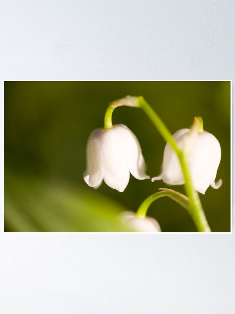 Alternate view of Lily of the valley closeup Poster