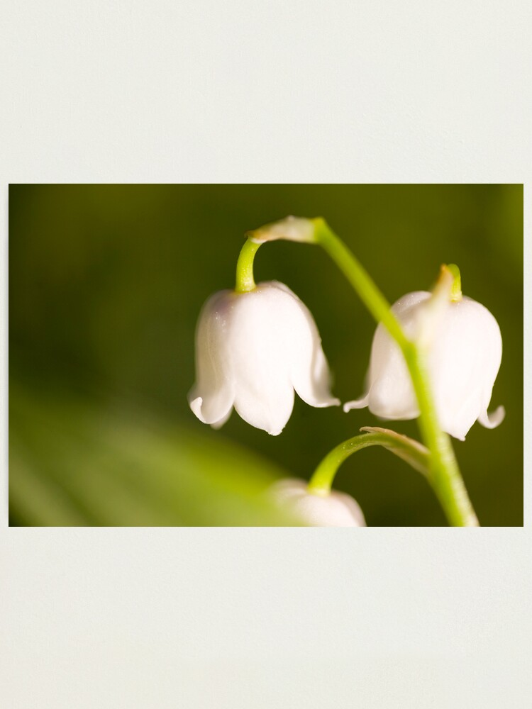 Alternate view of Lily of the valley closeup Photographic Print