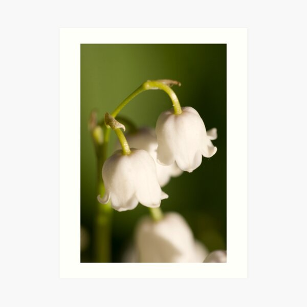 Lily of the valley closeup Art Print