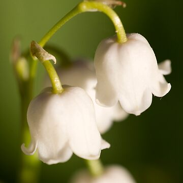 Lily of the valley closeup by littlefox