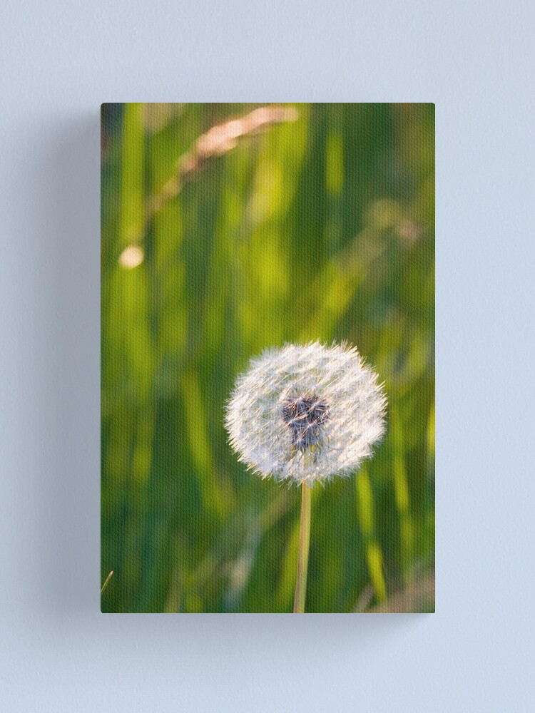 Alternate view of The lone dandelion Canvas Print