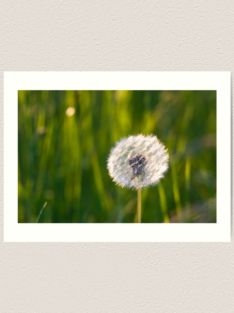 Alternate view of The lone dandelion Art Print