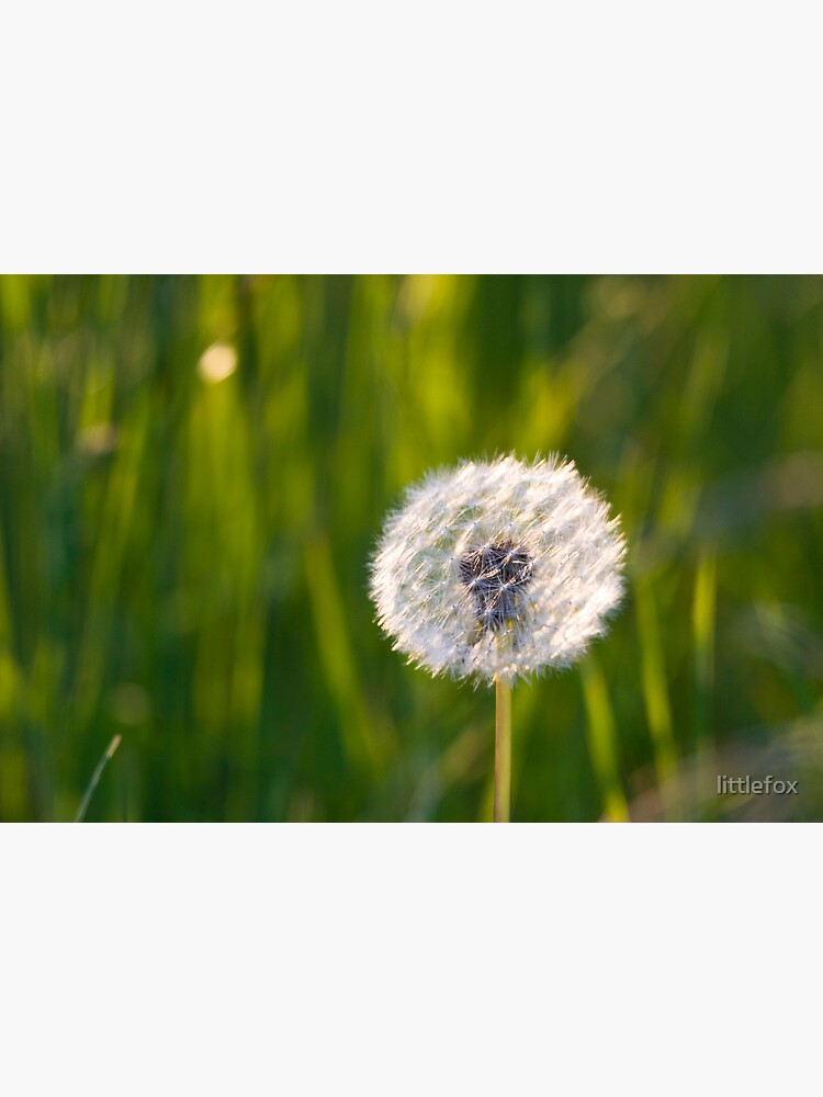 The lone dandelion by littlefox