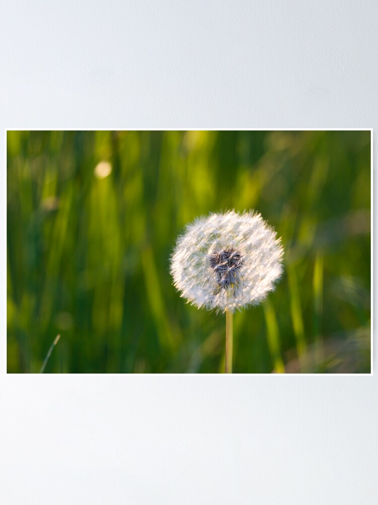 Alternate view of The lone dandelion Poster